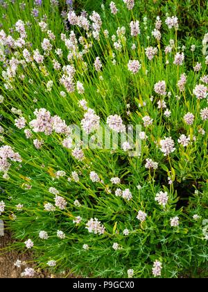 Lavender plants variety Hidcote Pink in full bloom at Yorkshire Lavender Terrington York UK - Stock Image