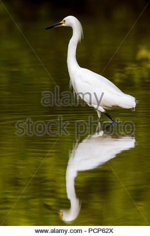 snowy egret - Egretta thula - Stock Image