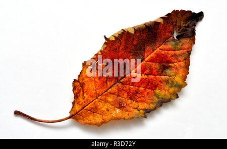 Colourful Autumn leaf - Stock Image