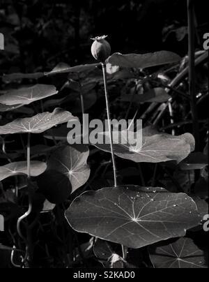 Nasturtium Leaves and Seed Heads - Stock Image