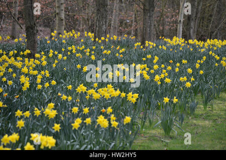 Daffodils in bloom on a driveway near the north Oxfordshire village of Hook Norton - Stock Image