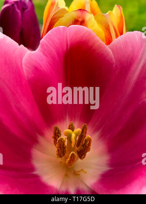 Close up of a Tulip (Tulipa) showing the pistil and the stamen covered in pollen grains. - Stock Image