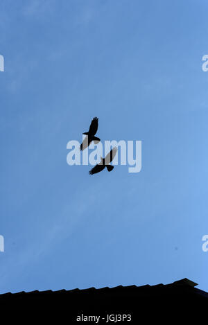 Two black crows flying in a blue sky with no clouds and copy space area - Stock Image