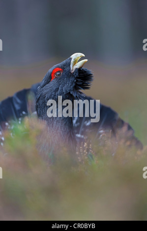 Cock capercaillie displaying in Caledonian pine forest. Cairngorms National Park, Scotland. February. - Stock Image