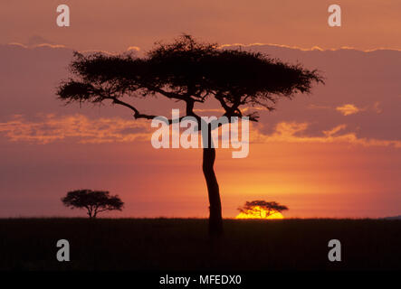 SUNRISE & SILHOUETTED ACACIAS  Picture sequence No.1 of 3 Masai  Mara Natl Reserve, Kenya - Stock Image