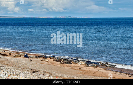 PORTGORDON BEACH MORAY SCOTLAND COMMON SEALS LYING ON THE SAND BELOW THE VILLAGE HOUSES AND LOSSIEMOUTH IN THE DISTANCE - Stock Image