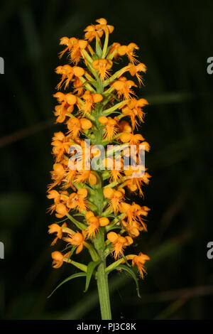 Yellow crested orchid blooms. - Stock Image
