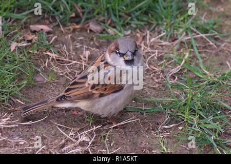 Wild sparrow with green glitter on beak - Stock Image