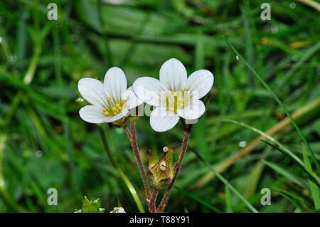 Meadow Saxifrage,Saxifraga granulata, grows on Rocky ridges, meadows, coppices and pastures.Flowers May–June.Endangerment: Near threatened.Warminster, - Stock Image