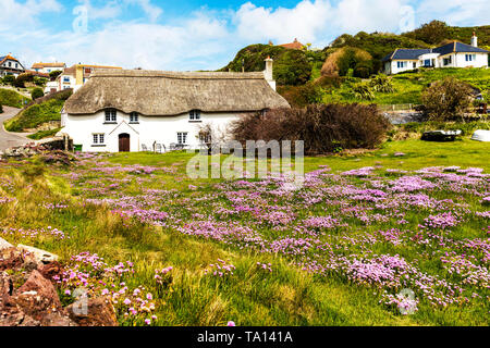 Armeria maritima, commonly known as thrift, sea thrift, sea pink, sea pinks, thatched house, thatched roof, sea pink flowers, pink flowers, hope cove - Stock Image