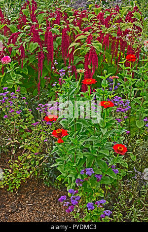 Detail of a flower border with Amaranthus caudatus, Love lies bleeding and Zinnias - Stock Image