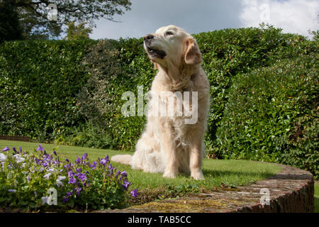 Golden Retriever Dog, Profile single female adult sitting in garden sniffing the air, England, UK - Stock Image