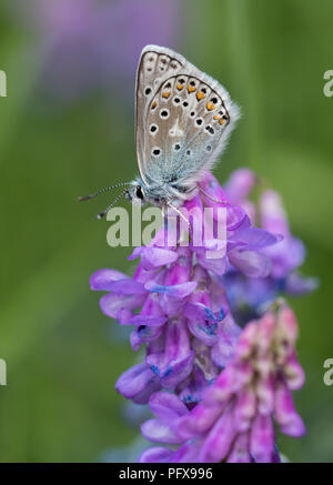 Arctic blue butterfly (Agriades glandon) - Stock Image