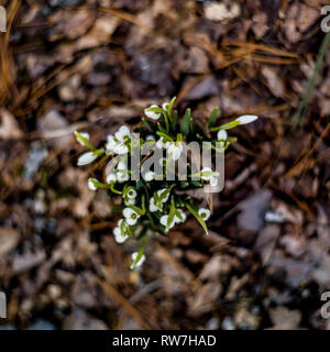 High Angle View of Snowdrops Emerging through Fallen Leaves and Light Snow - Stock Image