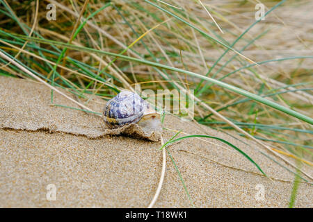 21 March 2019 - Saunton, Devon, UK - A close up view of the  Amber Sandbowl Snail (Catinella arenaria), a rare snail found in the Braunton Burrows - Stock Image
