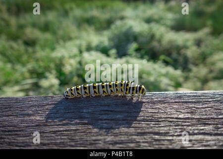 Monarch Caterpillar Danaus plexippus, Audubon Corkscrew Swamp Sanctuary, Naples, Florida, USA - Stock Image