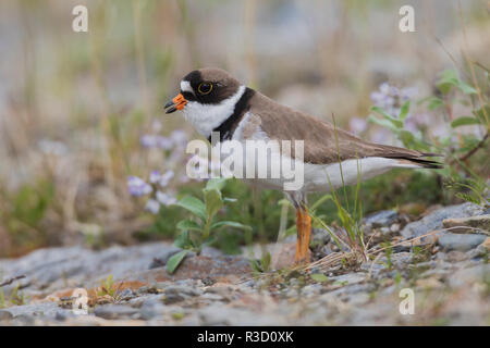 Semipalmated plover calling, creek bed on the Arctic Tundra - Stock Image