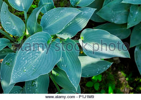 Hosta — AKA plantain lily, giboshi or Funkien — in spring morning sun before flowers form - Stock Image