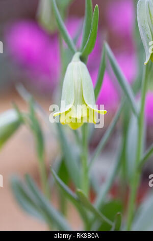 Fritillaria alfredae subsp. glaucoviridis flower growing in a protected environment. - Stock Image