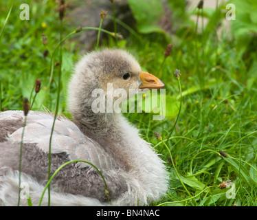 Gosling - bar-headed goose - Stock Image