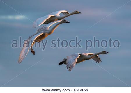 Whooper swans (Cygnus cygnus) in flight, Caerlaverock WWT reserve, Dumfries & Galloway, Scotland - Stock Image