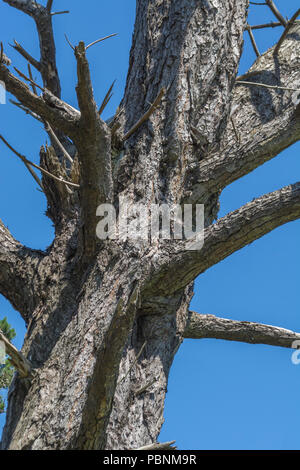 Monterey Pine [Pinus radiata] - treet trunk of dead specimen. In California, where it is a native, it is an endangered species hit by disease. - Stock Image