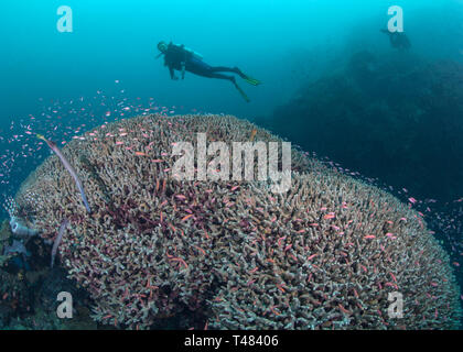 Female scuba diver gazes at two staghorn coral domes covered with colorful tropical reef fish. Bunaken Island, Indonesia. - Stock Image