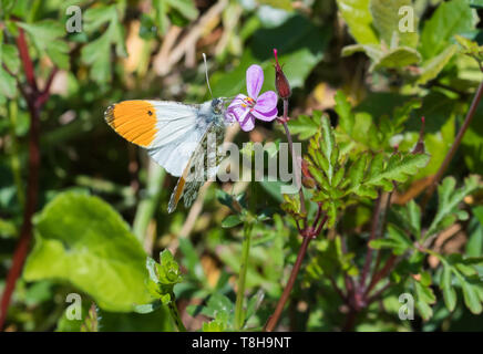 Male Orange tip butterfly (Orange tipped butterfly, Anthocharis cardamines) sitting on a pink flower in a garden in Spring (May) in West Sussex, UK. - Stock Image