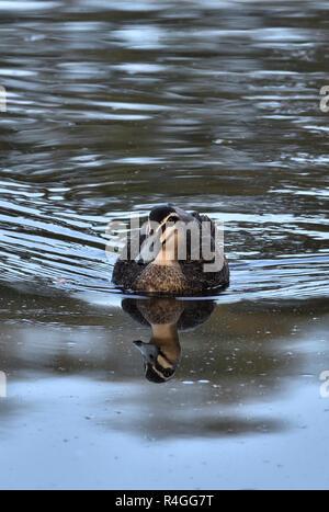 An Australian, Queensland Pacific Black Duck ( Anas superciliosa ) in a Lagoon - Stock Image