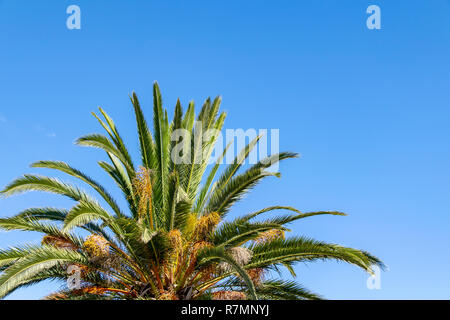Low angle view of the fronds and leaves of a tropical palm tree in the Canary Islands, Spain - Stock Image