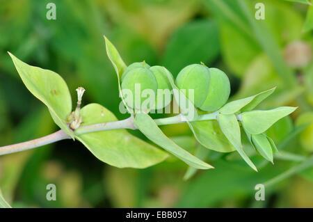 Euphorbia lathyris. - Stock Image