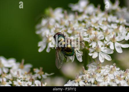 Green bottle fly resting in the sun on umbellifer flower - Stock Image