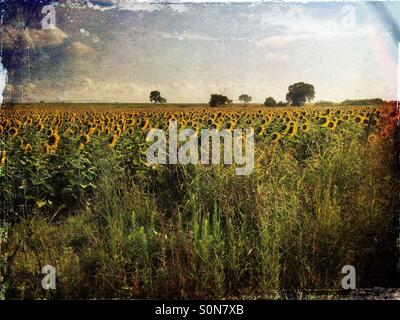 Watching the landscape at sunflower field - Stock Image