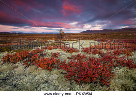 Autumn colors at Fokstumyra nature reserve, Dovre, Norway. - Stock Image