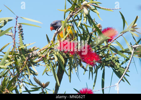 A Rainbow Lorikeet perched on a bottlebrush tree on a bright, sunny day on Kangaroo Island in South Australia, Australia. - Stock Image