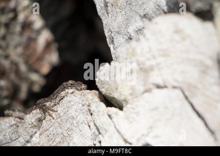 Lizard Breath brown black and grey lizard sunbathing on a tree with a hollow black hole - Stock Image