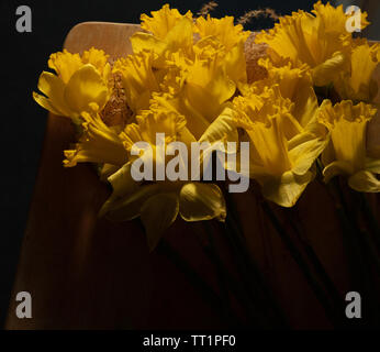 Bunch of yellow open daffodil flowers against a dark background indoors in February. - Stock Image