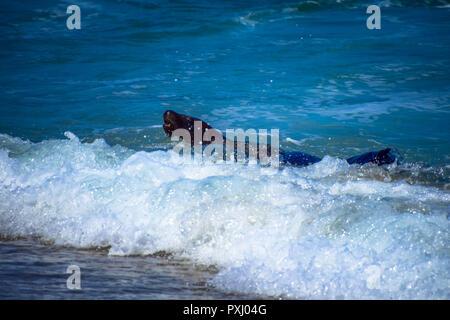 Sea lions frolicking in the Pacific Ocean off La Jolla Cove in La Jolla, California - Stock Image