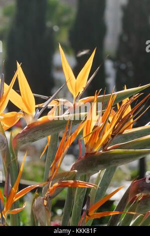 bird of paradise flower plant flowers plants Strelitzia crane - Stock Image