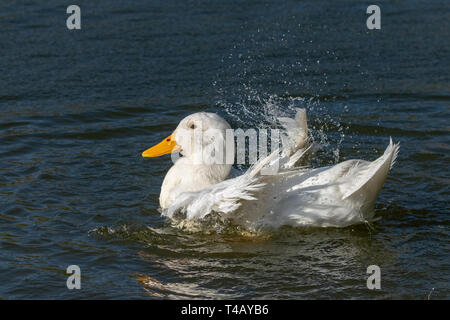 White Aylesbury duck (also known as Pekin or Long Island Duck) preening feathers and splashing water - Stock Image