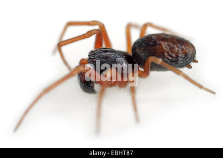Male Dictyna uncinata spider on white background. Family Dictynidae. Meshweb weavers. - Stock Image