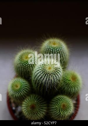 Cactus in a pot - Stock Image