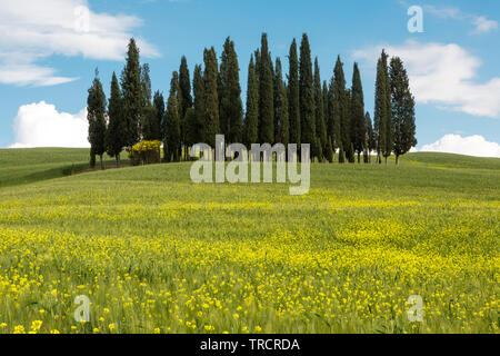 Wildflowers in front of the famous cypress trees in Tuscany Italy - Stock Image