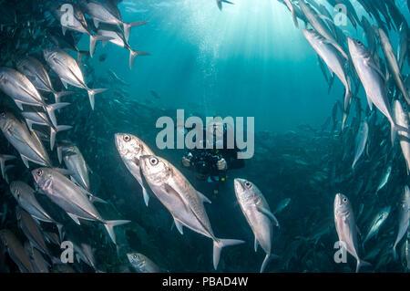 Diver photographing a school of Bigeye trevally (Caranx sexfasciatus) Sipadan, Malaysia. November 2015. - Stock Image