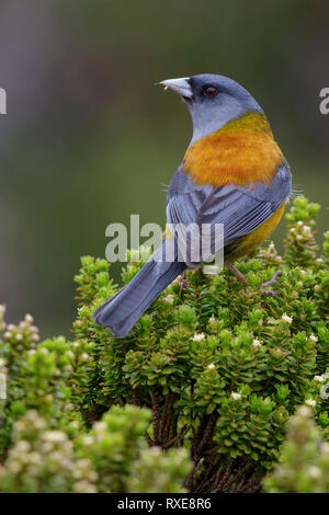 Patagonian Sierra-Finch (Phrygilus patagonicus) perched on a branch in Chile. - Stock Image
