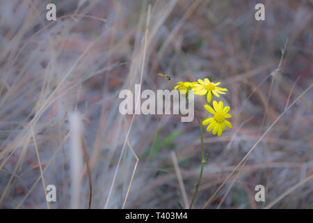 SaveDownload PreviewYellow flowers. Blooming flowers. Yellow flowers on a green grass. Meadow with rural flowers. Wild nature flower. - Stock Image