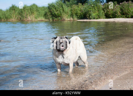 sweet pug puppy dog swimming and playing in water outside in park - Stock Image