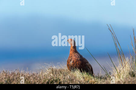 Red Grouse male (Lagopus lagopus)  in early Springtime.  Bright red eye combs to attract a female.  Natural grouse moor habitat. Blue sky background.  - Stock Image