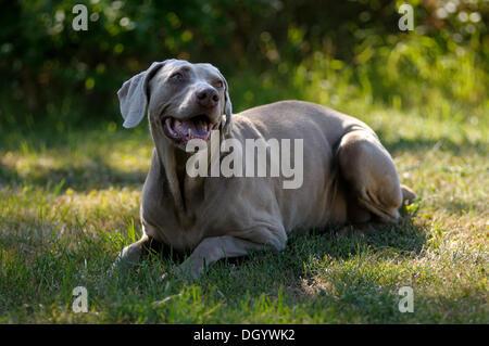 Weimaraner lying on a meadow - Stock Image