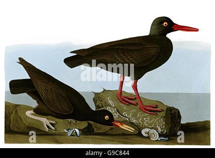 Black Oystercatcher, Haematopus Brachmani, birds, 1827 - 1838 - Stock Image